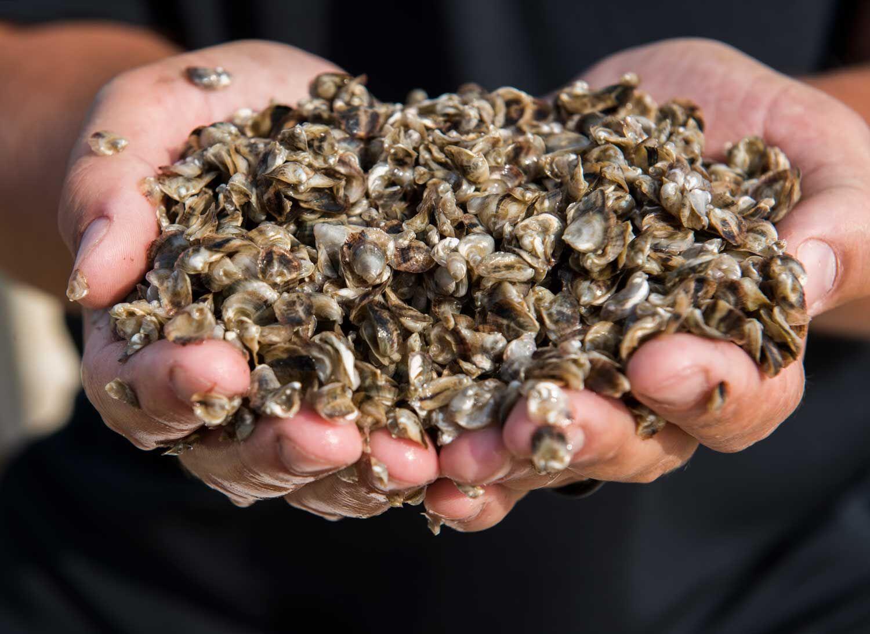 naissains d'huîtres triploïdes tétraploïdes