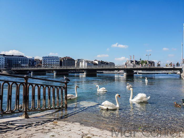 Visiter Genève en une journée Cygnes