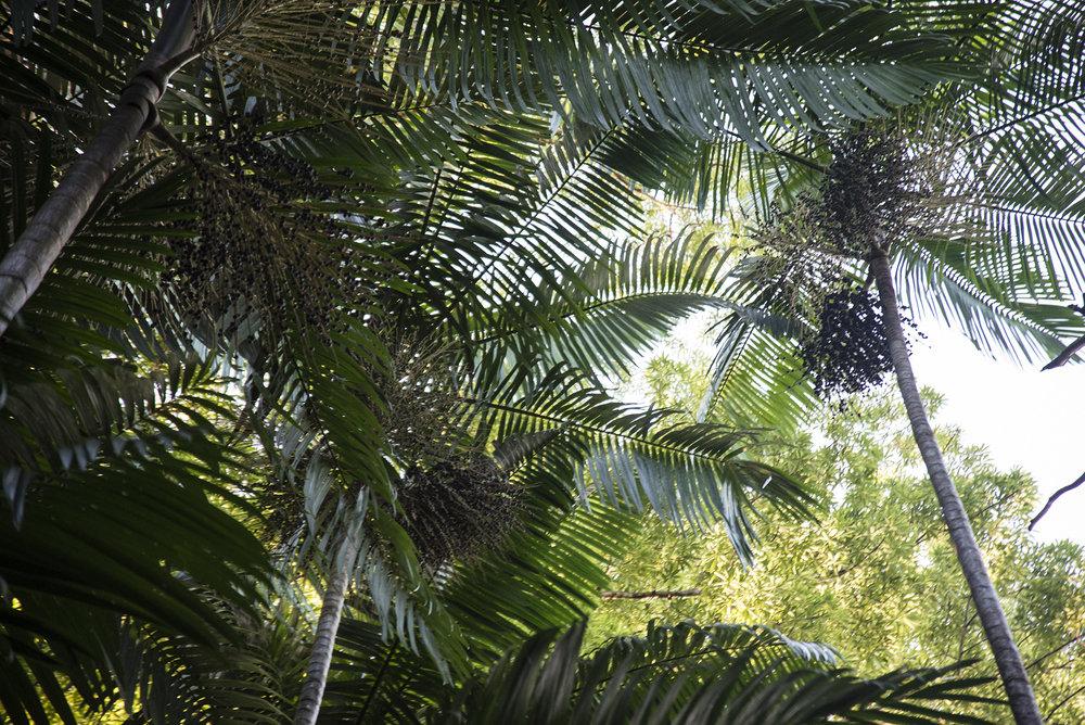 palmier d'açaí