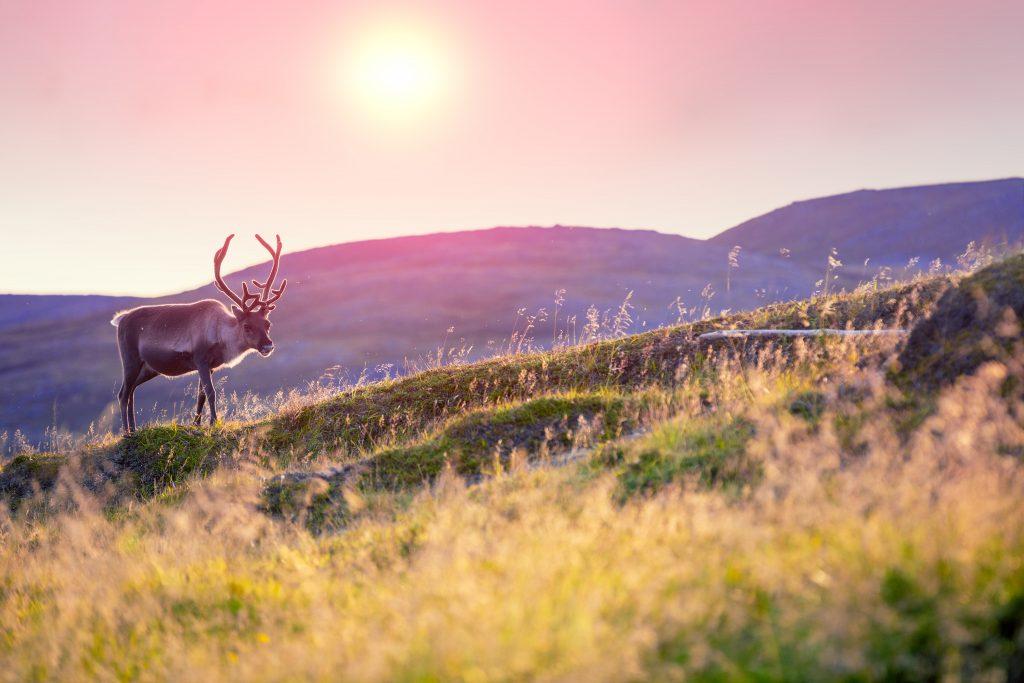 Voyager en Norvègepour voir le plus grand troupeau de rennes d'Europe
